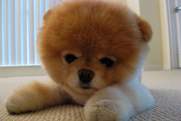 Toy Dog Breeds That Stay Small : Puppy potty training